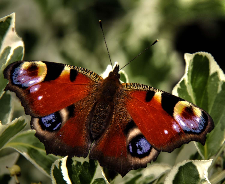 Peacock,Butterfly,shrub,Midlothian,365days,HDR,high dynamic range,hotpix!