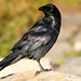 Flickr photo 'Corvus corax' by: Blake Matheson.