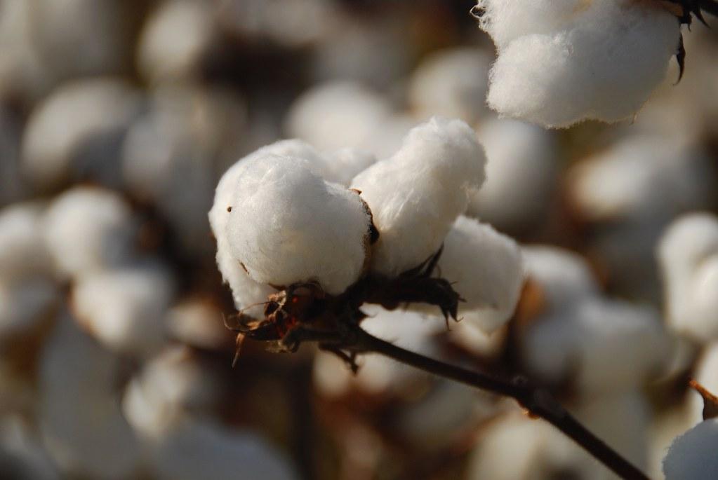 Cotton Bolls | faungg's photos | Flickr