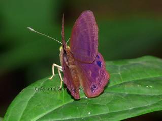 Plum Judy (Abisara echerius prunosa) P1180296 | by Blue.Magpie