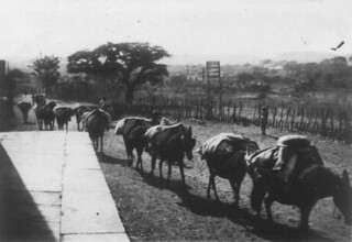 Caravan of Pack Mules