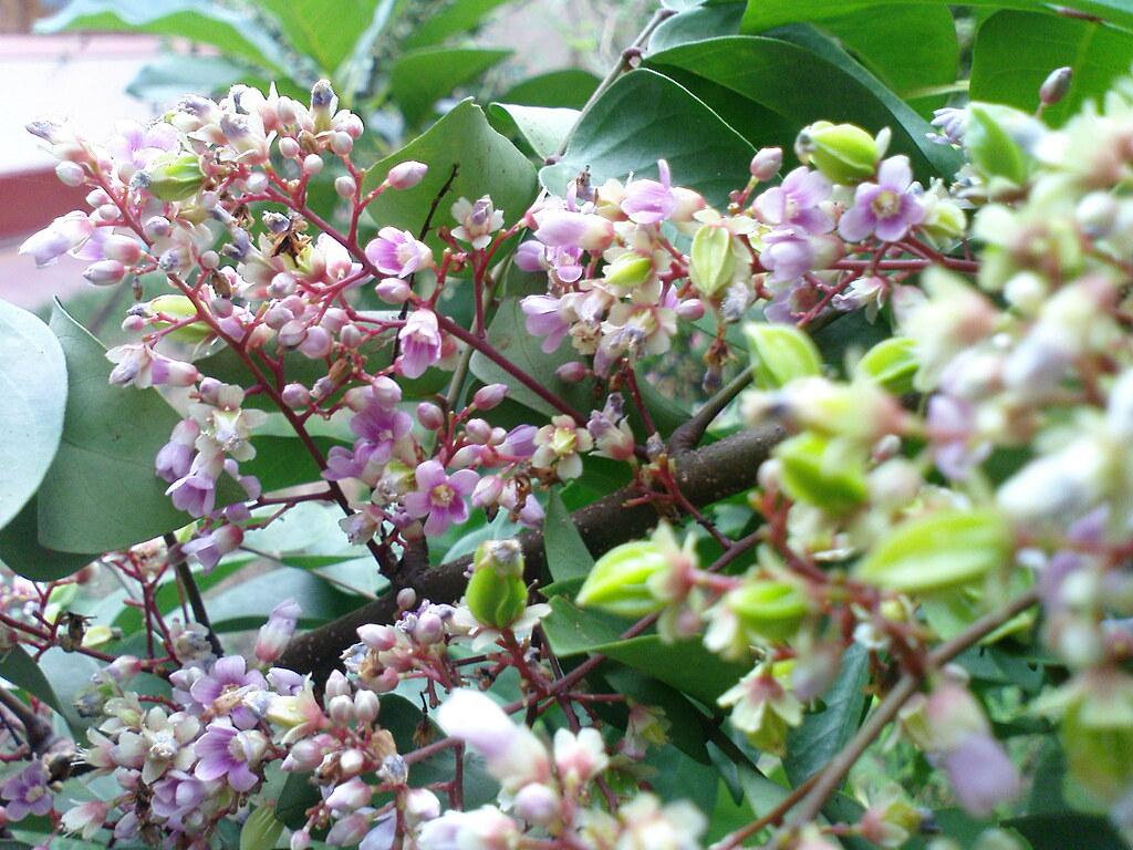 Kamaranka flowers | Averrhoa carambola / Star Fruit | Mahesh