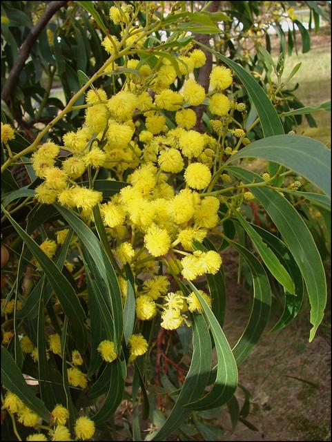 Golden Wattle Australias Floral Emblem Acacia Pycnantha Flickr