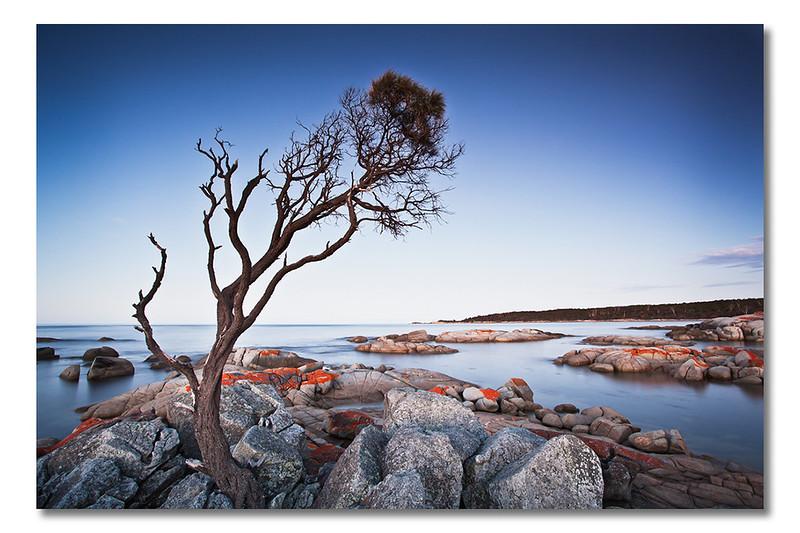 Binalong Bay Tree, Tasmania, Australia
