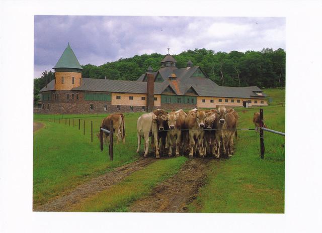 Vermont Dairy Cows Postcard