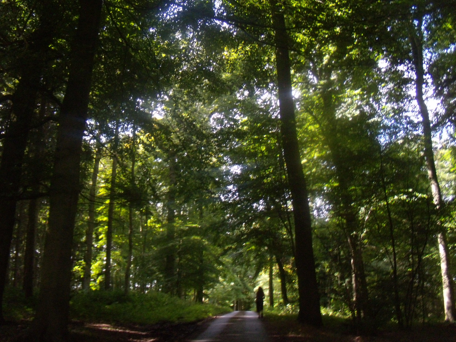 Tall trees, Cosgrove Woods Wendover Circular