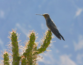 Giant Hummingbird at Cruz del Condor P1080982 | by grebberg
