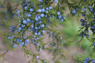 Juniper.... Bough with Berries | by julieabrown1