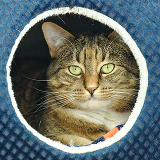 Sparkles - 7 year old spayed female   by carescatshelter