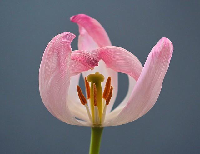 The essence of tulip