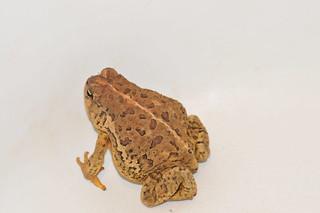 Animalia Chordata Vertebrata Amphibia Anura Bufonidae Bufo ...