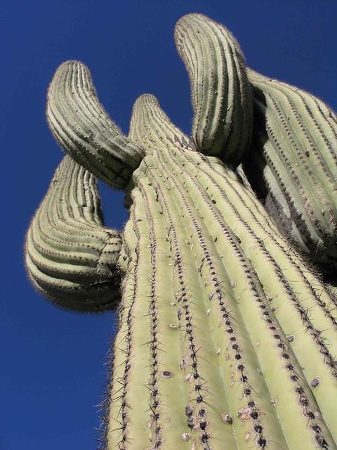 Saguaro cactus; E side of San Pedro River, SE of San Manuel, AZ