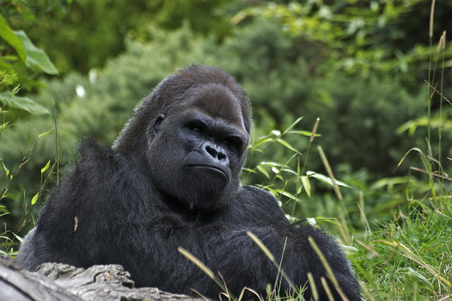 It's time to consider the future - Silverback contemplation at durrell wildlife conservation trust, Jersey.