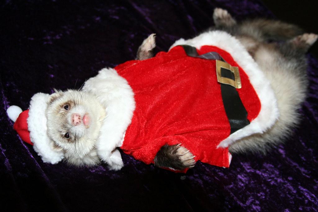 Christmas Ferret.Merry Christmas Santa Ferret Richard Elzey Flickr