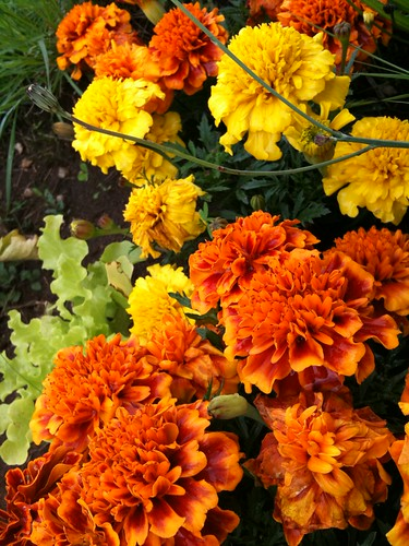 Marigolds | by Dysanovic