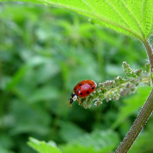 Ladybug on Nettle - My Ladybug should bring you Luck  -  Happy New Year 2010 !!! | by Batikart