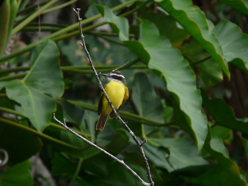 Lesser Kiskadee at Sandoval Lake P1100637 | by grebberg