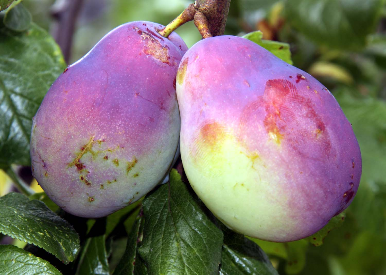 Allotment,cheshire,plums,victoria,tree,fruit,fruits,autumn,Northwich,purple,sweet,hotpix,hotpixuk,tony,smith,TDKTony,TDK,365days