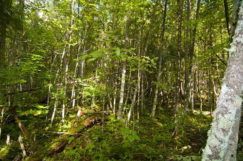 Fri, 09/18/2009 - 11:27 - Dense understory is present in eastern part of site, especially in the area of the 1985(?) clearcut. Credit: Bob Howe & Amy Wolf