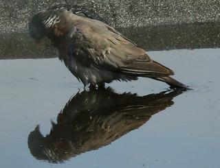 Pigeon's Bath time | by Martin_Borgman