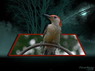 08-11-2009 Woodpecker-OOB