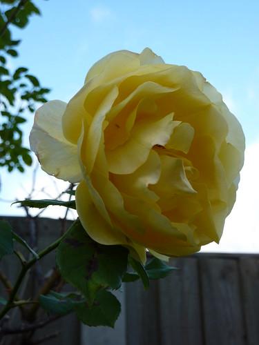 Yellow Rose (03/10/2009)