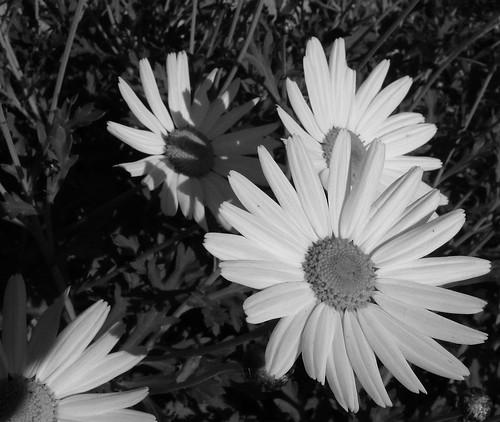 white daisies at dusk | by Liv Ellingsen