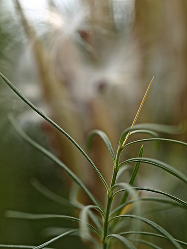 green minnesota pod seed rochester delicate seedpod silkyhair asclepiasverticillata angelhair whorledmilkweed 20thstsw