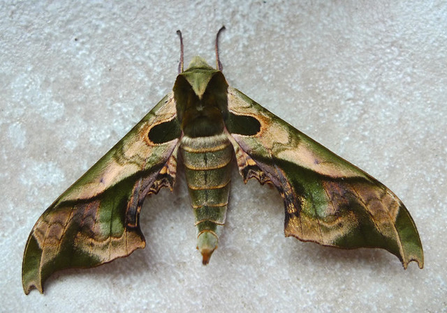 Large Moth (view 1)