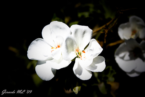 White Flower - Puebla