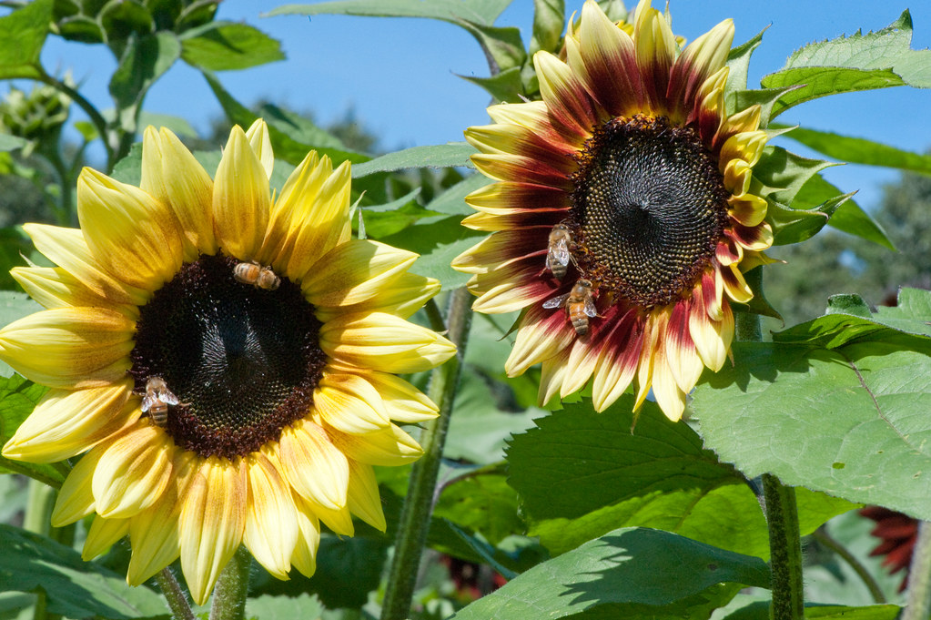 Sunflower bicolor variability