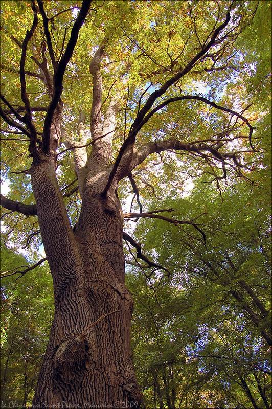 Le Chêne sous Saint-Pierre (3)
