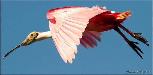 birds canon florida 7d waders merrittisland roseatespoonbill centralflorida canon100400l minwr canon7d birdqualityonlyclub