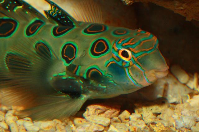 LSD-Mandarinfisch / Picturesque Dragonet (Synchiropus picturatus)