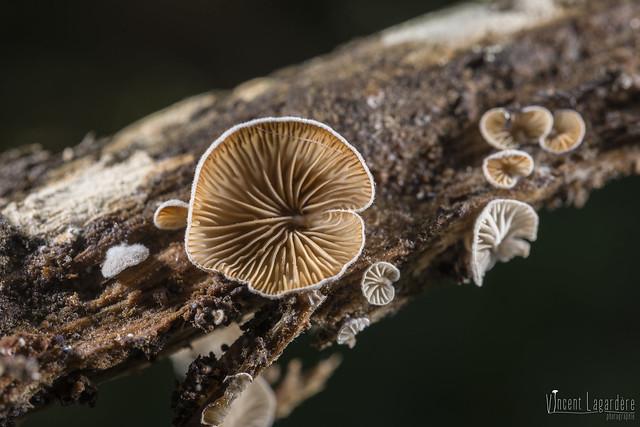 Clitopilus hobsonii - Clitopile sessile