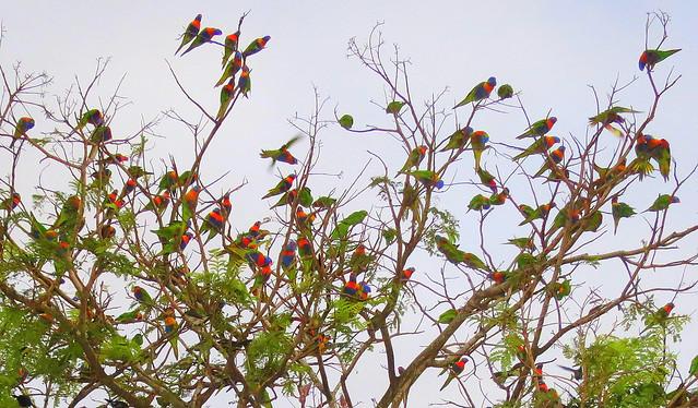 Rainbow Lorikeet in Cairns - 2