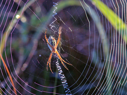 Spider in orb 20161229