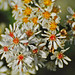 White Heath Aster - Photo (c) Jerry Oldenettel, some rights reserved (CC BY-NC-SA)