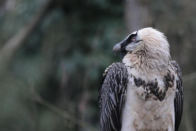Gipeto - Avvoltoio degli Agnelli