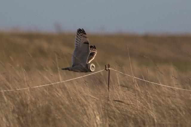 Short-eared Owl - Asio flammeus DNGFiles_390_edited-1