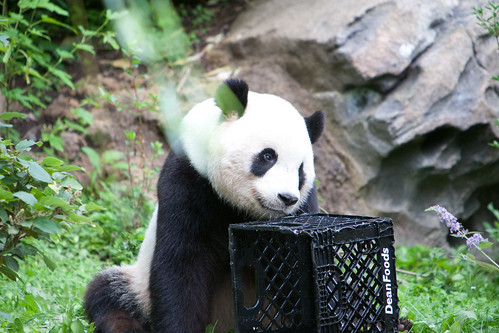 Panda bear | by AndrewEick