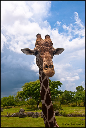 Curious Giraffe | by joe.budzynski