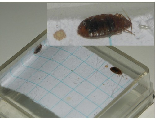 Newly mated male & female bed bugs | by louento.pix