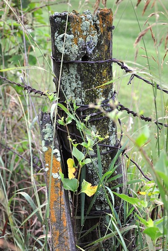 life old morning green grass rural standing fence moss wire closed post wrapped barbedwire weathered lichen barbs damp fencepost complicated stalwart enwrapped