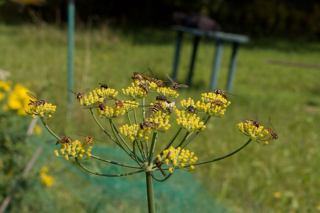 imgp9236 - Hover Flies On Fennel Flowers