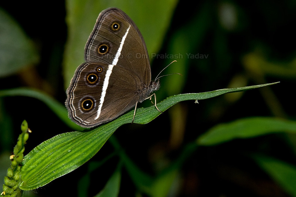 The Banded Treebrown Butterfly