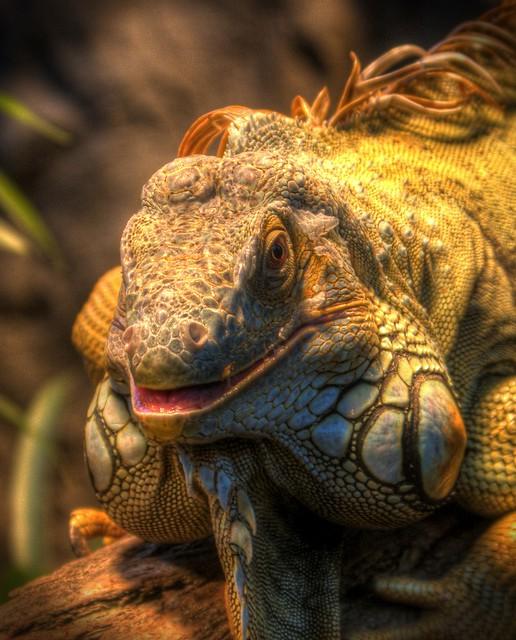 Iguana in Wonderland