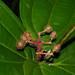 Clidemia - Photo (c) Reinaldo Aguilar, alguns direitos reservados (CC BY-NC-SA)