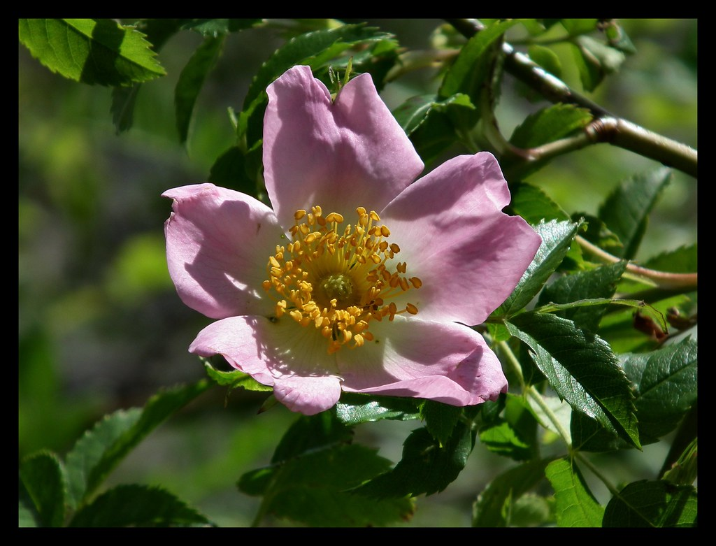 Common Dog Rose - Rosa canina | Other Names :- Brier hip,Bri… | Flickr