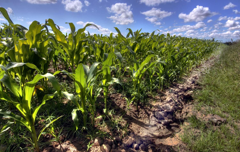 grappenhall,crop,field,summer,village,warrington,cheshire,UK,agriculture,clouds,blue,sky,Grappenhall Village,England,A50,A56,365days,maise,maize,corn,HDR,high dynamic range,Hotpicks,hotpics,hot,pics,pix,picks,hotpix.freeserve.co.uk,hotpix!